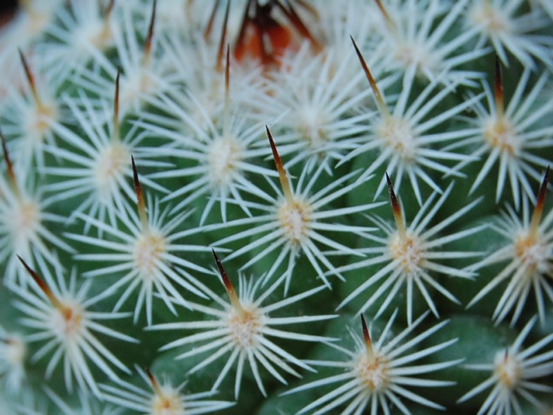 Mammillaria dealbata 3366-212