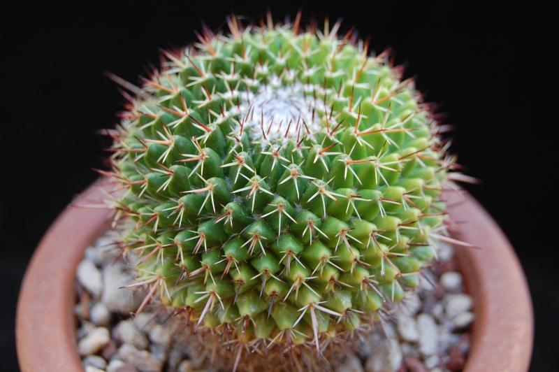 Mammillaria multiseta 3479-210