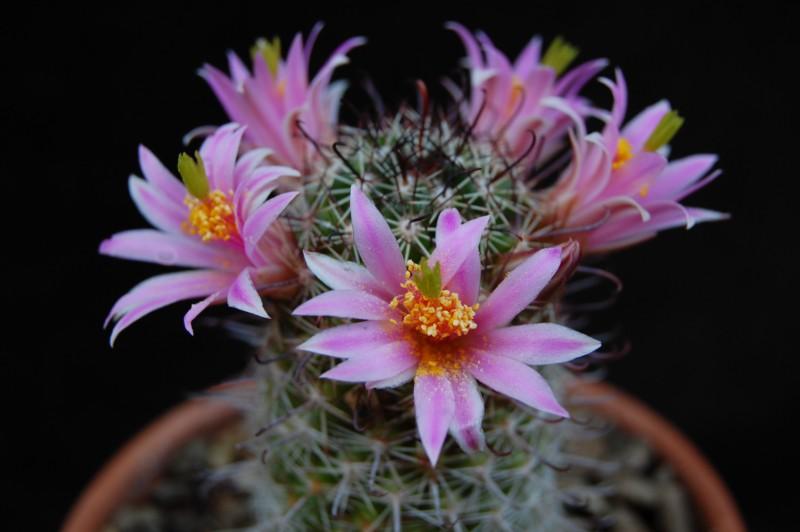 Mammillaria sheldonii 3487-210