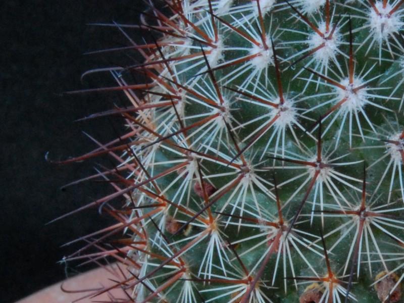Mammillaria solisii 3610-214