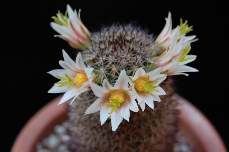 Mammillaria shurliana 4007-210