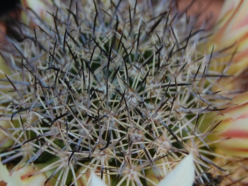 Mammillaria shurliana 4007-211