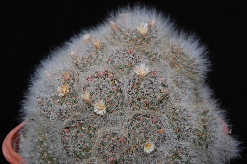 Mammillaria scheinvariana 6104-210