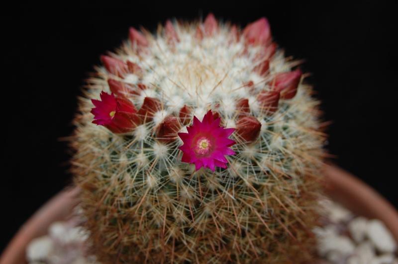 Mammillaria nunezii 6149-211