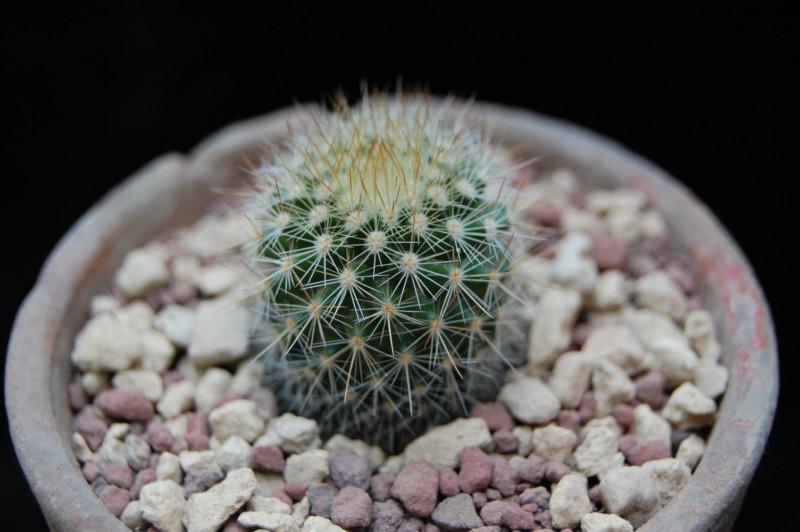 Mammillaria spinosissima 6250-210