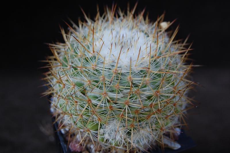 Mammillaria haageana 6460-210