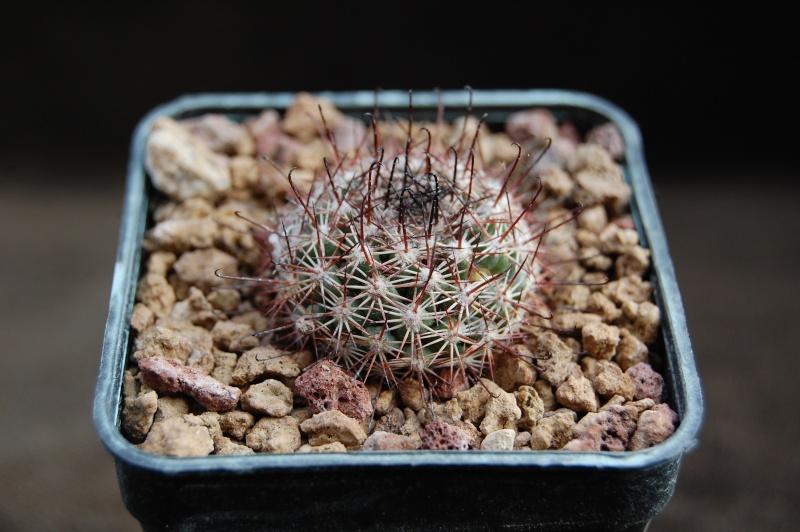 Mammillaria dioica 6519-210