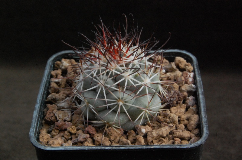 Mammillaria schumannii 6523-210