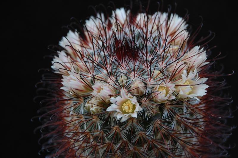 Mammillaria moelleriana 7101-210