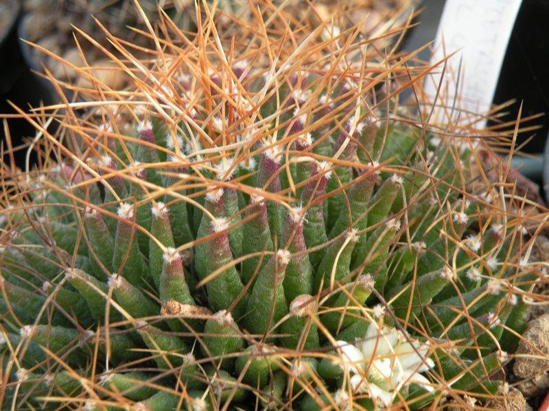 Mammillaria decipiens Campto10