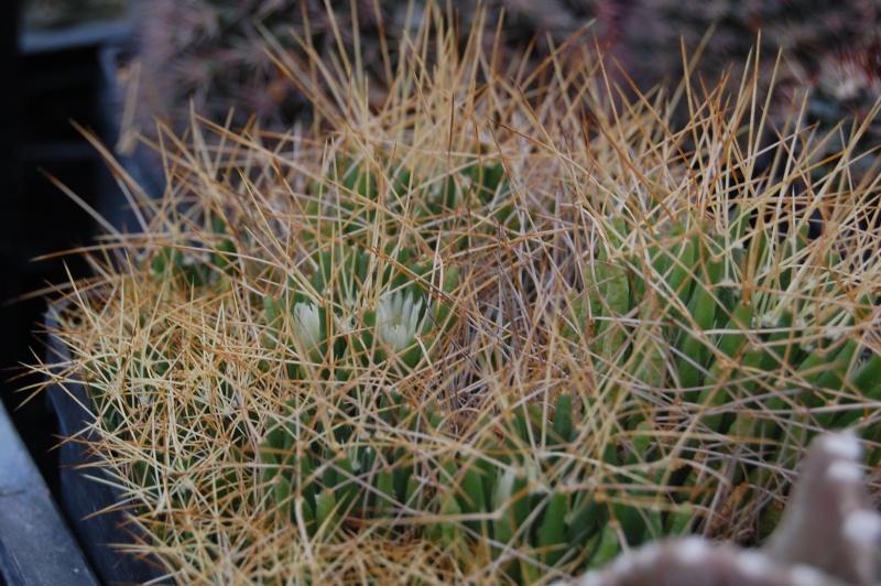 Mammillaria decipiens Decipi12