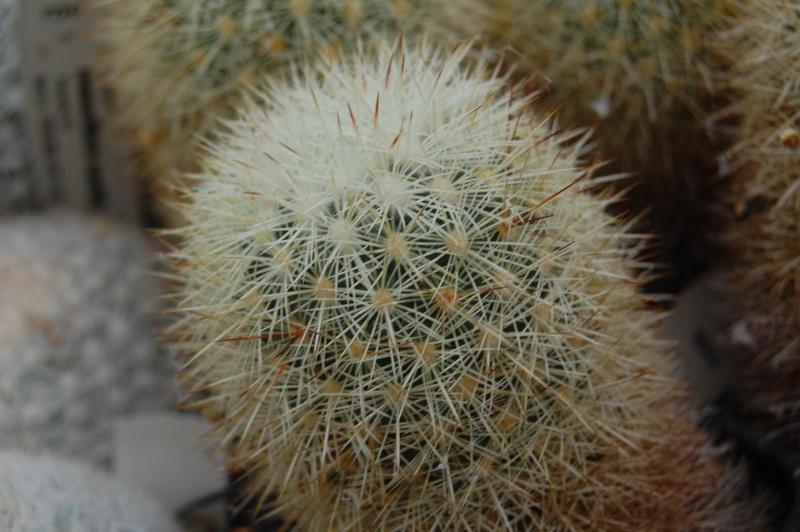 Mammillaria densispina Densis10
