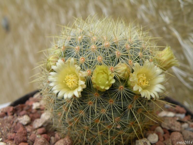 Mammillaria discolor Discol12