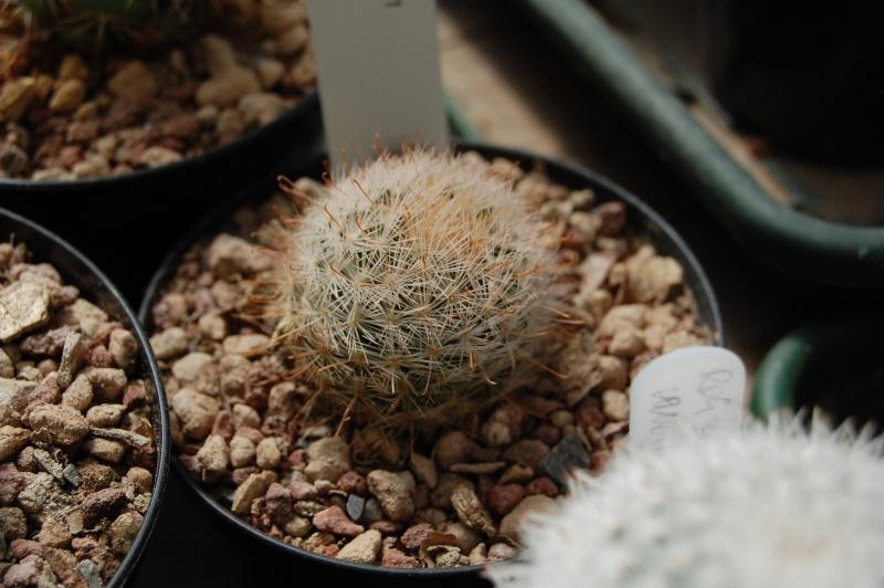 Mammillaria gasseriana Gasser10