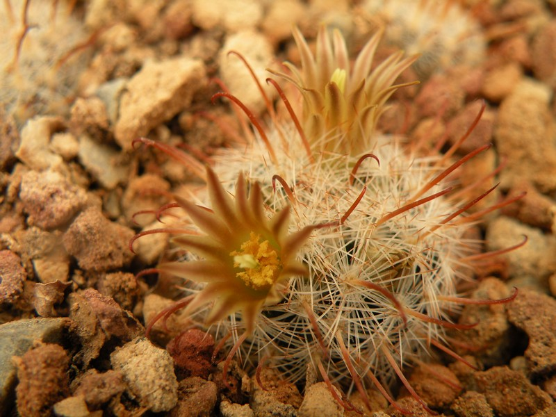 mammillaria stella-de-tacubaya Gasser13