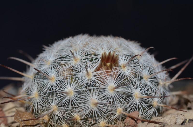 mammillaria stella-de-tacubaya Gasser14