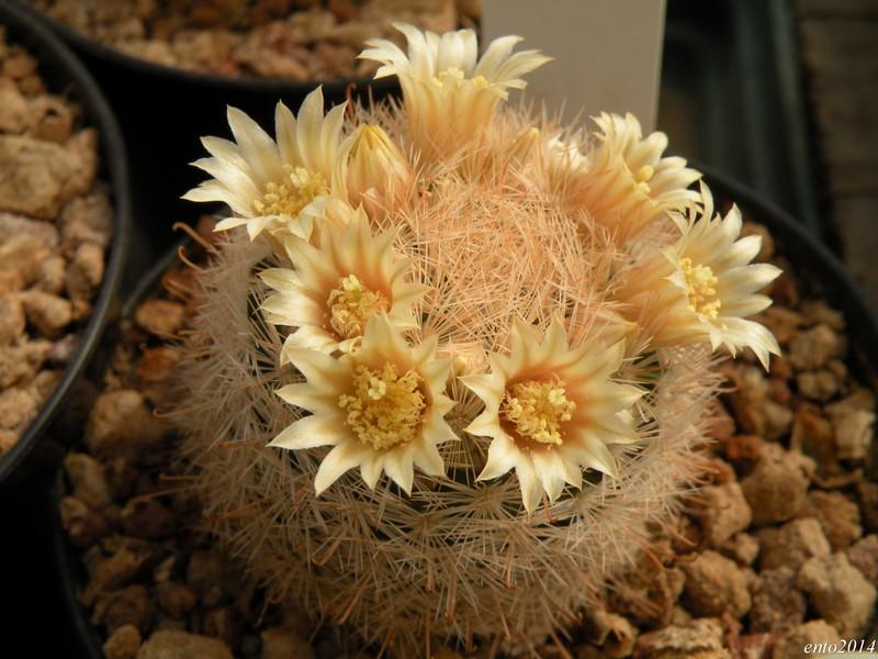 Mammillaria gasseriana Gasser16