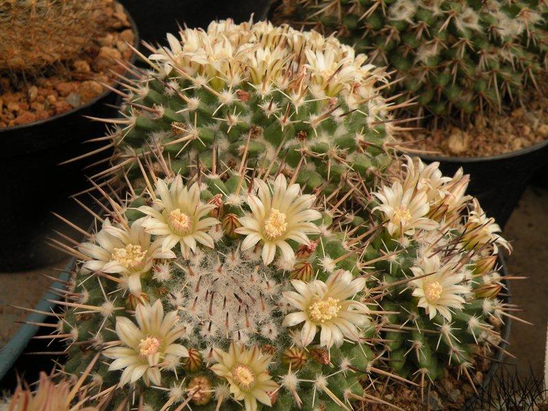 Mammillaria hastifera Hastif11