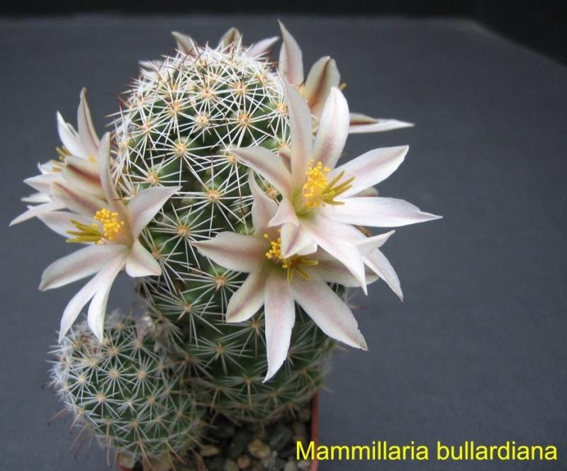 Mammillaria bullardiana Mammil10