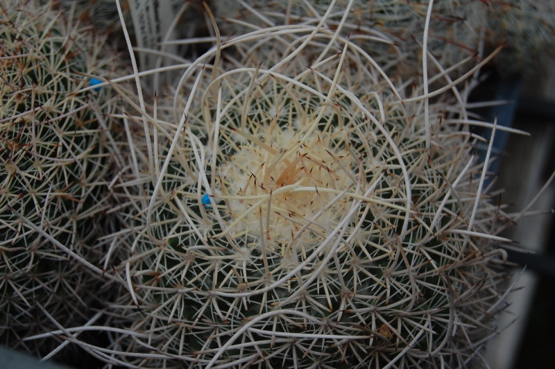 Mammillaria mystax Mystax10