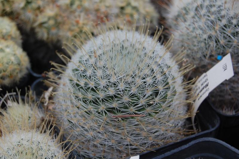 Mammillaria nazasensis Nazase11