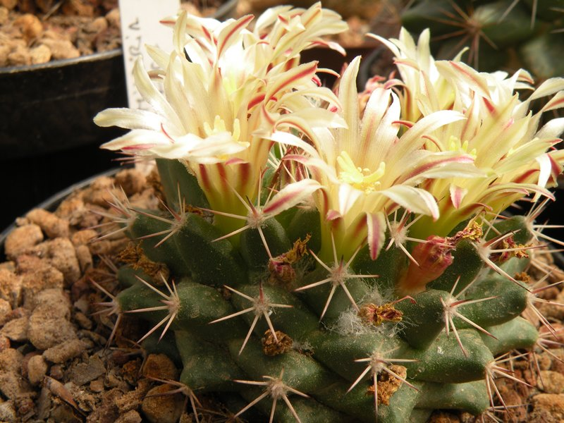 Mammillaria pacifica Pacifi10