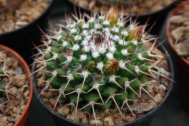 Mammillaria polyedra Polyed10