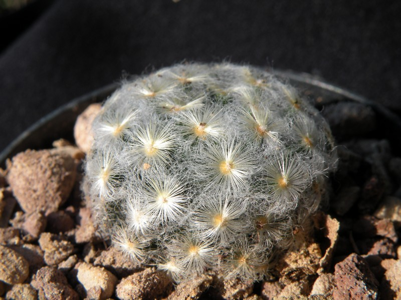 Mammillaria schiedeana Schied10