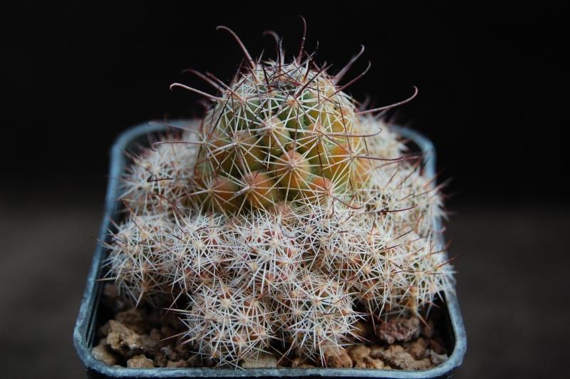 Mammillaria mazatlanensis Ssp_pa10