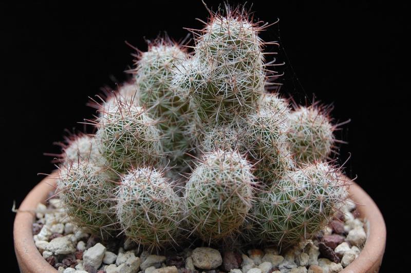 Mammillaria mazatlanensis Ssppat10