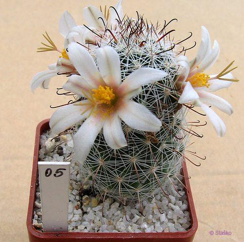 Mammillaria bullardiana St_mam10