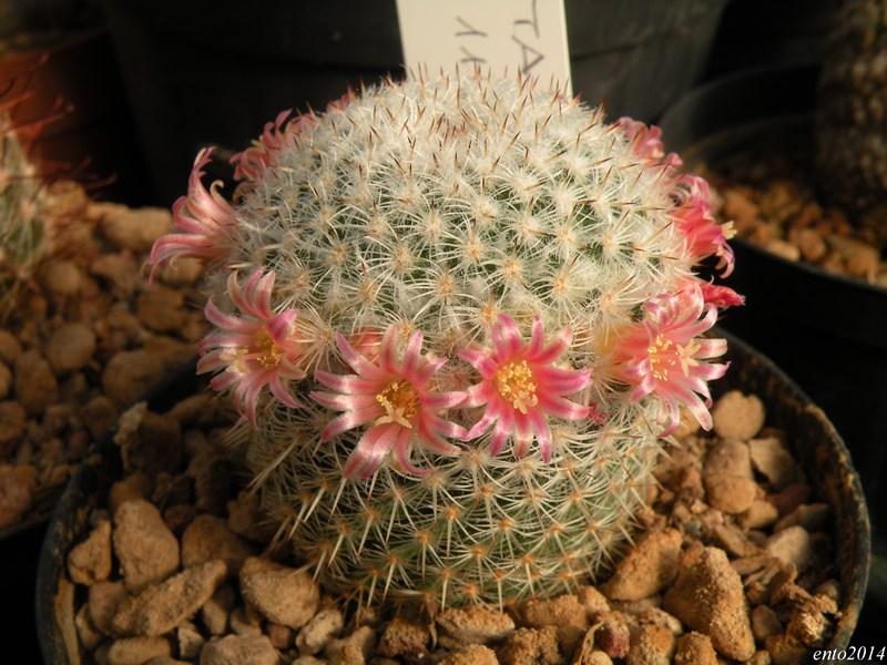 Mammillaria supertexta Supert10