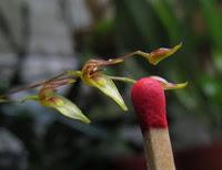Variations sur Specklinia grobyi Img_1311
