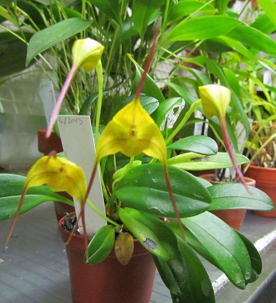 Masdevallia triangularis sp.1 Img_1727
