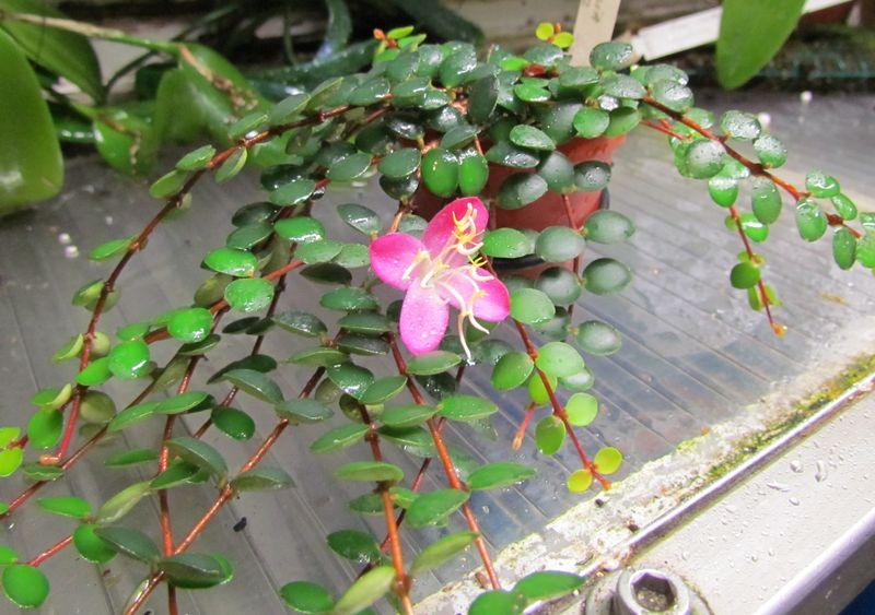 Medinilla sedifolia Img_1815