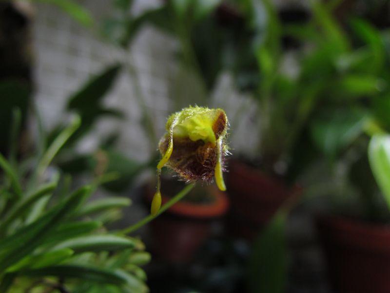 Diodonopsis erinacea ( ex. Masdevallia erinacea ) Img_1818