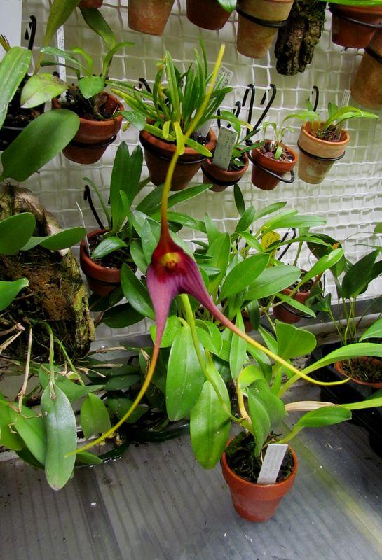 Megema cucullata ( ex. Masdevallia cucullata ) Img_1929