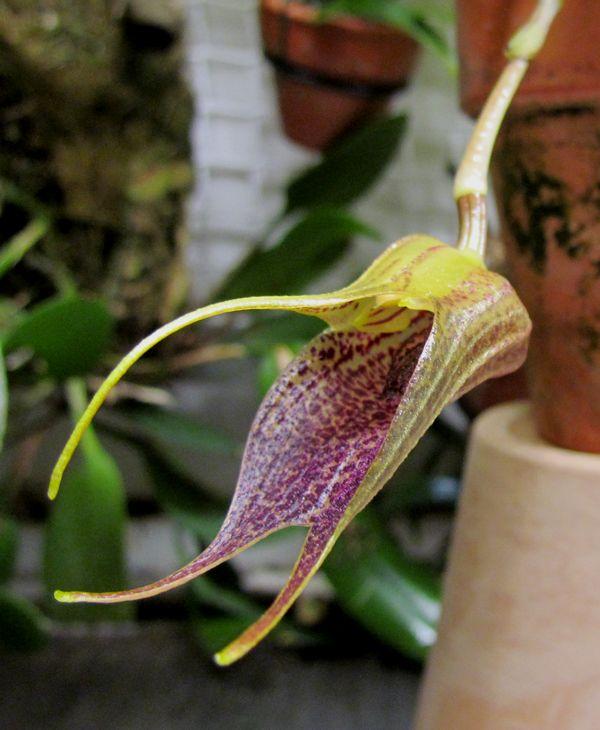 Byrsella angulata ( ex. Masd. angulata ) Img_2016