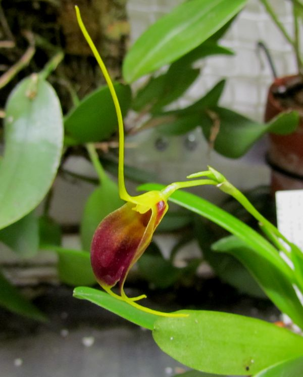 Alaticaulia bicolor ( ex. Masdevallia bicolor ) Img_2034