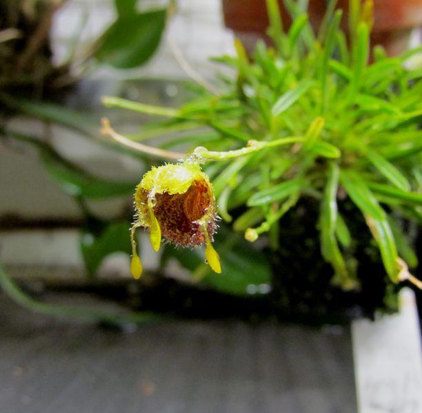 Diodonopsis erinacea ( ex. masdevallia erinacea ) Img_2043