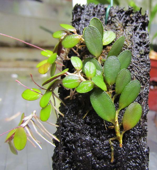 Variations sur Specklinia grobyi Img_2120