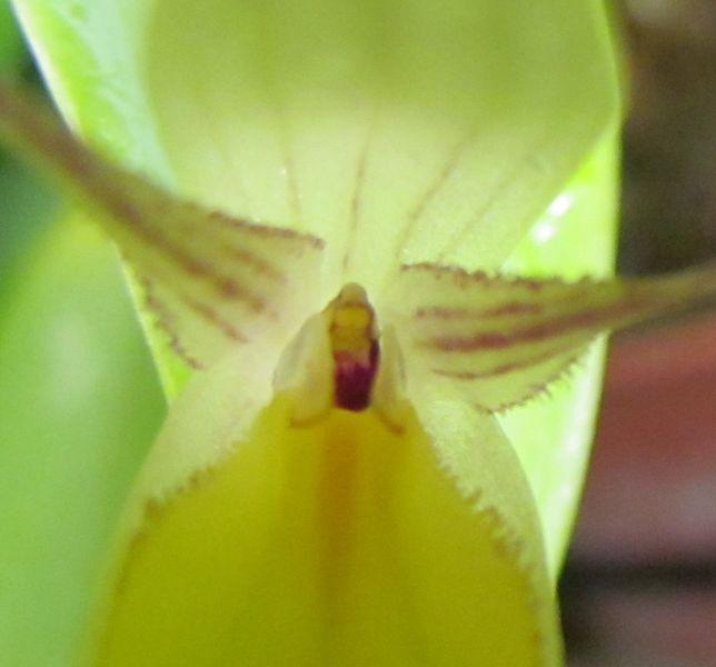 Lindleyalis hemirhoda Img_2127