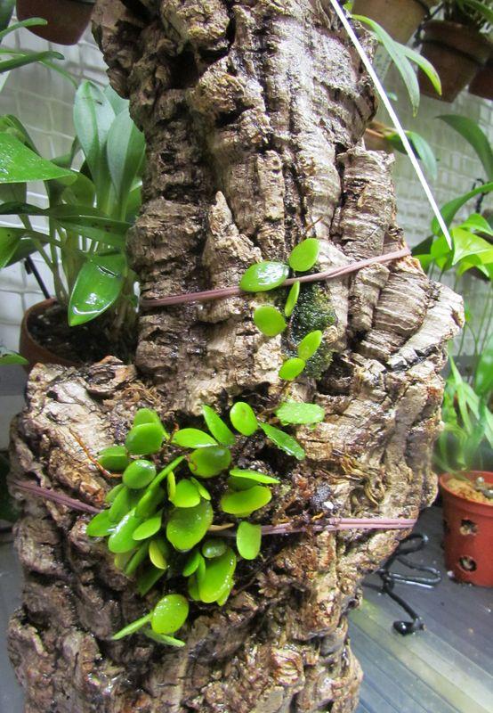 Pyrrosia piloselloides ( dernières nouvelles ).  Img_2143