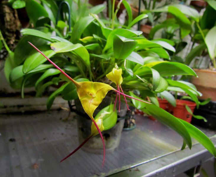 Masdevallia triangularis Img_2153