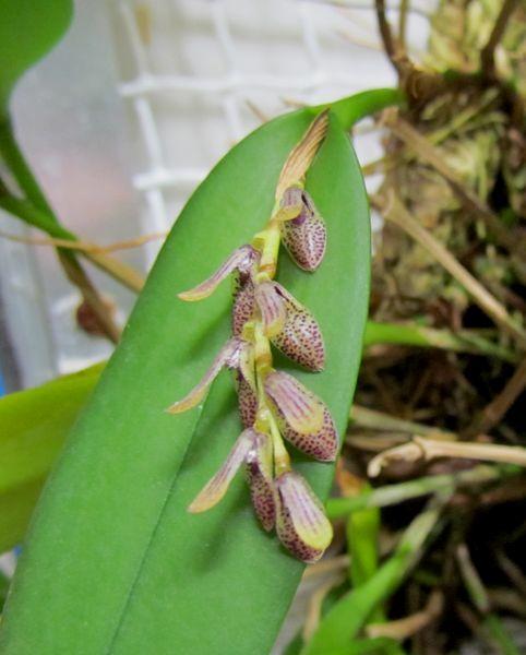 Acianthera pubescens ( ex. Pleurothallis pubescens ) Img_2215
