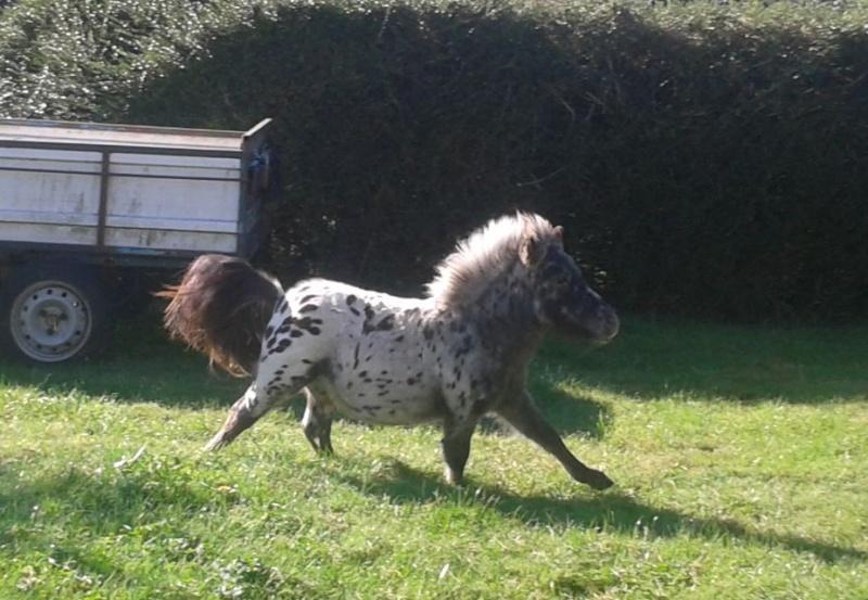 saillie sam, cheval miniature appaloosa leopard :) Co11