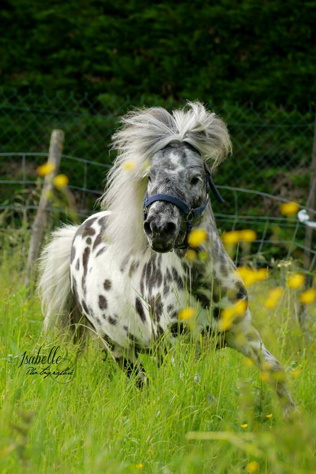 saillie sam, cheval miniature appaloosa leopard :) Sam10
