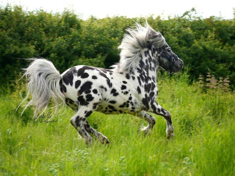 saillie sam, cheval miniature appaloosa leopard :) Sam210