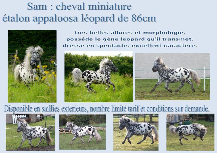 saillie sam, cheval miniature appaloosa leopard :) Sam_fi10