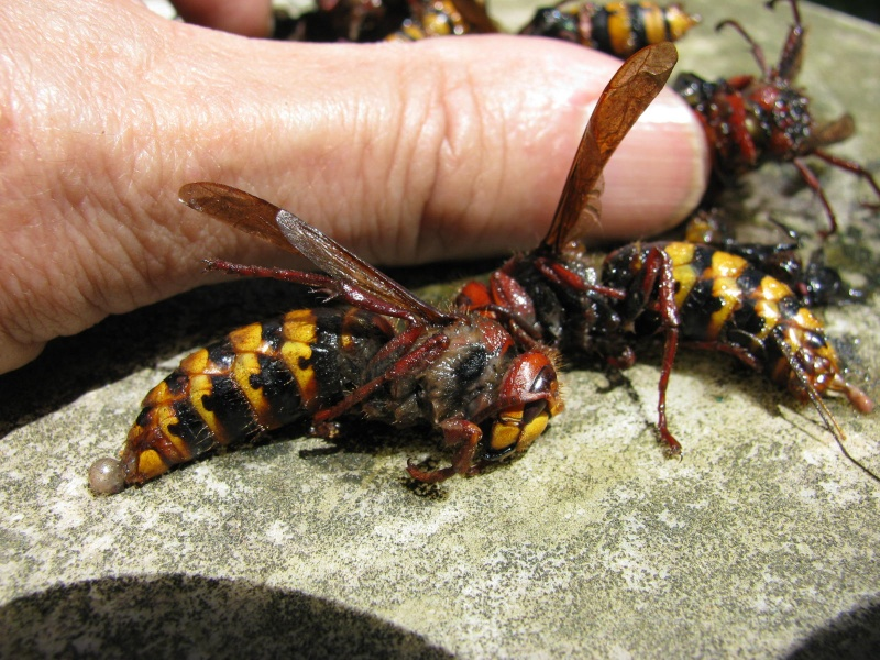 frelon crabro local et frelon VV  ou frelon asiatique Img_6510